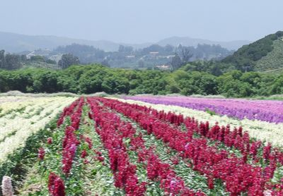 Rows of Flowers Grown in Lompoc